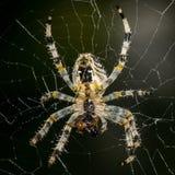 Большой спайдер в своей сети Стоковая Фотография