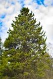 Большой спрус Дерево хвои Высокое дерево Посмотрите вверх на дереве Зеленое растение Лесохозяйство стоковые изображения rf