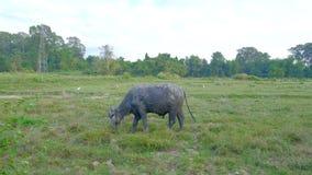 Большой табун буйвола видеоматериал