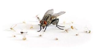 большой террор мухы плоти Стоковое Изображение RF