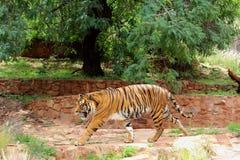 Большой тигр на ЗООПАРКЕ Претории, Южной Африке Стоковое Изображение RF