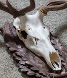 Большой трофей звероловства оленей Стоковые Фотографии RF