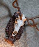 Большой трофей звероловства оленей Стоковая Фотография RF