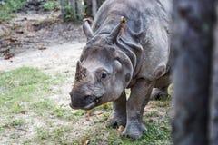 Большой угрожаемый индийский носорог Стоковая Фотография RF