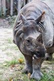 Большой угрожаемый индийский носорог Стоковые Изображения
