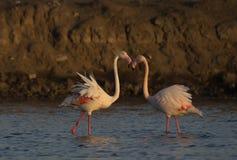 Большой фламинго от Гуджарата, Индии стоковая фотография rf
