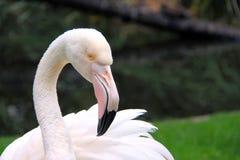 Большой фламинго стоковая фотография