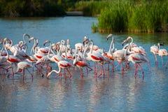 Большой фламинго (roseus Phoenicopterus) Стоковые Изображения RF