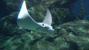 Большой хвостоколовый плавая медленно над дном Возбуждая seascape подводный видеоматериал