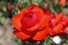 Большой цветок красной розы с бутонами Стоковая Фотография RF
