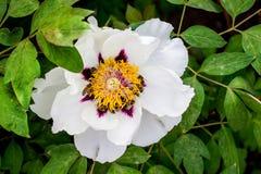 Большой цветок похожего на дерев пиона на кусте украшает сад на spri стоковые фото