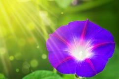 Большой цвет пурпура цветка и гранатового дерева Стоковое Изображение RF