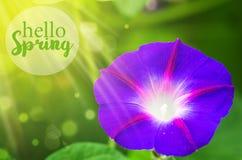Большой цвет пурпура цветка и гранатового дерева Стоковые Фотографии RF
