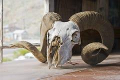 большой череп овец рожочка Стоковая Фотография