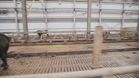 Большой черный бык идя в конюшню на амбаре металла фермы большом акции видеоматериалы