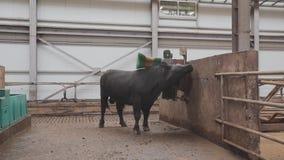 Большой черный бык получая почищенный щеткой в конюшне на амбаре металла фермы большом видеоматериал
