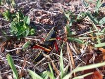 Большой черный, красный, и желтый кузнечик в болоте Стоковое Изображение RF