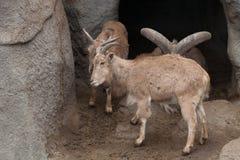 Большой штоссель в зоопарке Стоковое Изображение RF
