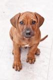 большой щенок глаз стоковые фотографии rf