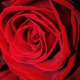Большой элегантный конец цветка красной розы вверх Стоковая Фотография RF