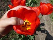 Большой яркий красный тюльпан в руке Стоковое фото RF