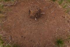 Большой anthill в старом пне в древесинах стоковое изображение