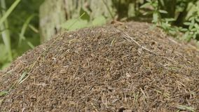 Большой anthill с колонией муравьев в anthill леса a лета большом в лесе стоковые изображения rf
