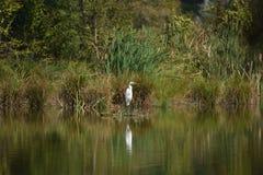 Большой Ardea Egret alba стоковые изображения rf