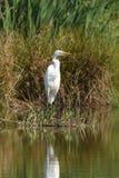 Большой Ardea Egret alba стоковое фото rf