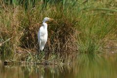 Большой Ardea Egret alba стоковое изображение rf