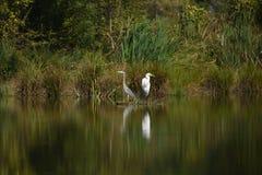 Большой Ardea Egret alba стоковые фото