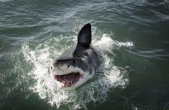 Большой carcharias Carcharodon белой акулы пробивая брешь на поверхности океана стоковые фото
