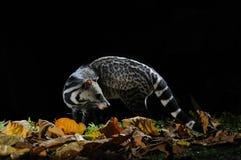 большой civet индийский Стоковые Фотографии RF