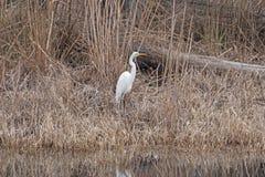 Большой Egret вдоль реки Suwannee Стоковые Фото