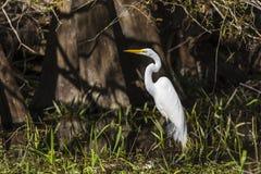 Большой egret в болоте стоковое фото