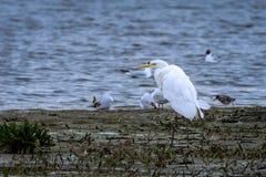 Большой egret в bridal сезоне стоковые изображения