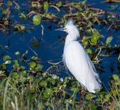Большой Egret на круге b Стоковые Изображения RF