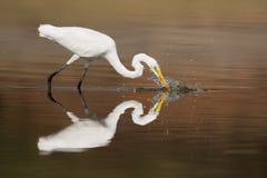 Большой Egret на обязанности рыбной ловли стоковые фотографии rf