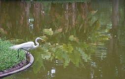 Большой egret на озере Стоковые Фотографии RF