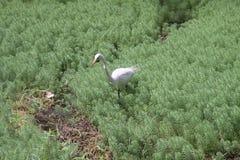 Большой egret на озере Стоковое фото RF