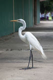 Большой egret на озере Стоковое Фото