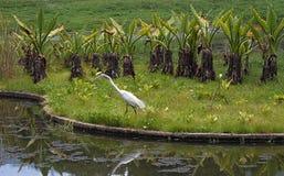Большой egret на парке в Каракасе Стоковые Изображения RF