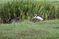 Большой egret на парке в Каракасе Стоковое Фото