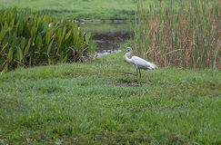 Большой egret на парке в Каракасе Стоковое Изображение