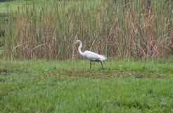 Большой egret на парке в Каракасе Стоковые Изображения