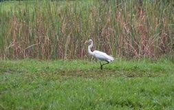 Большой egret на парке в Каракасе Стоковые Фотографии RF