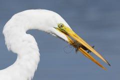 Большой Egret с раком в своем клюве Pinellas County, Florid Стоковые Фото