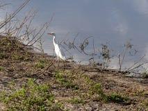 Большой Egret, albus Casmerodius, ресервирование Bwabwata, Намибия стоковое фото