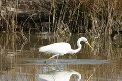 Большой Egret - Ardea alba стоковое фото
