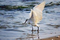 Большой flapping рыбной ловли egret подгоняет на побережье Стоковое фото RF
